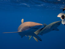 Silky sharks in clear blue water, Jardin de la Reina, Cuba. Silky sharks greet divers as soon as they hit the water of the electric blue Caribbean sea. Jardin royalty free stock photo