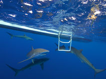 Silky sharks in clear blue water, Jardin de la Reina, Cuba. Silky sharks greet divers as soon as they hit the water of the electric blue Caribbean sea. Jardin royalty free stock photos