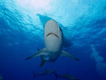 Silky sharks under boat in clear blue water Stock Image
