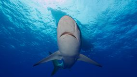 Silky sharks under boat in clear blue water Royalty Free Stock Photos