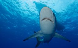 Silky sharks under boat in clear blue water Royalty Free Stock Images
