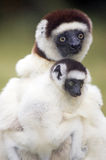 Silky sifaka (Propithecus candidus) Royalty Free Stock Photography