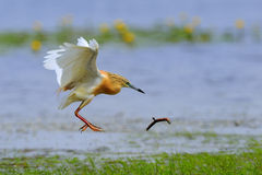 Silky or Squacco Heron Royalty Free Stock Photos