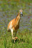 Silky or Squacco Heron Stock Images