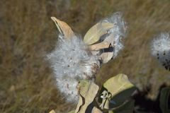 Montana Milkweed seeds in autumn. The silky strands of a wild milkweed seeds take to the air royalty free stock image