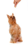 Silky Terrier Stock Images