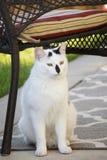Silla perdida blanco y negro de Feral Cat Sitting Under Patio Furniture Foto de archivo