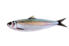Sillfisk som isoleras på vit bakgrund Arkivfoton
