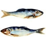 Sillfisk. vattenfärgmålning Arkivfoto