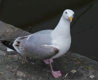 Sillfiskmås Royaltyfri Fotografi