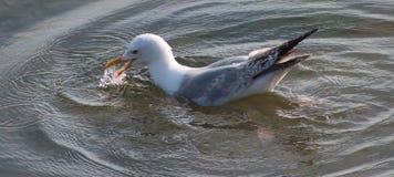Sillfiskmås Royaltyfri Bild