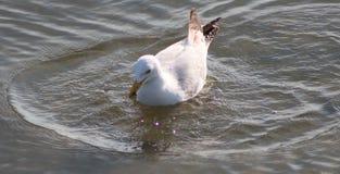 Sillfiskmås Royaltyfria Foton