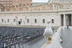 Sillfiskmås på Sts Peter fyrkant vatican rome Arkivbilder