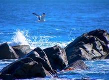 Sillfiskmås som flyger över reven Arkivfoto