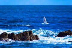 Sillfiskmås som flyger över reven Arkivfoton
