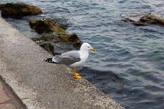 Sillfiskmåsen står på pir av Blacket Sea crimea Sevast fotografering för bildbyråer