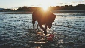 Sillhouette de chien jouant dans l'océan au coucher du soleil Image stock