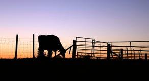Sillhouette de vache du Holstein dans le domaine au coucher du soleil image libre de droits