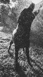 Sillhouette del perro que disfruta del espray del agua Foto de archivo libre de regalías