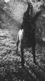 Sillhouette del perro que intenta morder un espray del agua Imagen de archivo libre de regalías