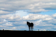 Sillhouette eines Pferds Stockbilder