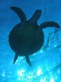 sillhouettesköldpadda Arkivfoto