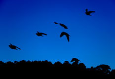 Sillhoutte of birds flying Stock Photo