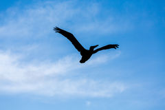 Sillouette of Pelican Against Sky. A black Sillouette of a Pelican Against beautiful Sky Royalty Free Stock Photography