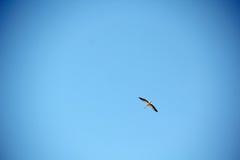 Sillouette ` s аиста летания в небе Стоковые Фотографии RF
