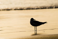 Sillouette of a seagull. Standing in the waterline at the beach in the morning with water in background Royalty Free Stock Image