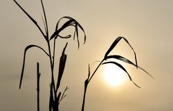 Sillouhette of the dry grass during the sunset on a cloudy foggy day royalty free stock photos