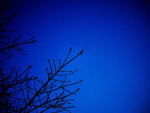 Silluate tree with dark blue sky Stock Images