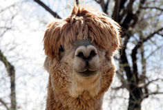 Silly Alpaca 2 Royalty Free Stock Image