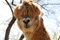 Silly Alpaca. Funny-faced alpaca stock image