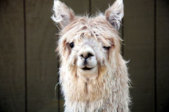 Silly Alpaca. A cute alpaca looking at the camera royalty free stock photography
