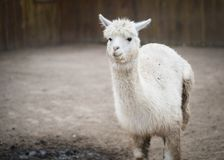 The Silly Alpaca stock image