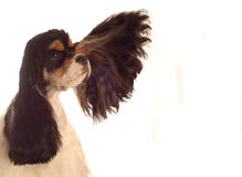 Silly american cocker spaniel. American cocker spaniel with ear flying out - champion bloodlines Royalty Free Stock Photo