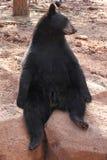 Silly Bear. Black Bear sitting beside a drop Royalty Free Stock Photo