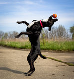 Silly black dog on hind legs with orange ball in mouth Stock Photo