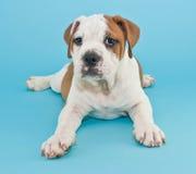 Silly Bulldog Puppy Stock Photos