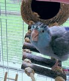 Silly Coconut hut Turtle  Bird. Silly wet spiky haired blue parrotlet with coconut house  tropical pets birds exotic Stock Photography