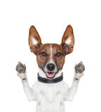 Silly crazy paws up dog. Silly crazy dog with paws up Royalty Free Stock Photo