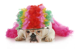Silly dog. English bulldog dressed up like a clown on white background Stock Image