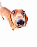 Silly dog Royalty Free Stock Photos