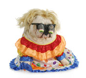 Silly dog. English bulldog wearing silly glasses and clown costume Royalty Free Stock Images