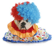 Silly dog. English bulldog dressed up like a clown Stock Photos