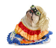 Silly dog. English bulldog dressed up like a clown on white background Stock Images