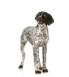 Silly dog. Funny dog - german shorthaired pointer sticking tongue out  on white background Royalty Free Stock Photography
