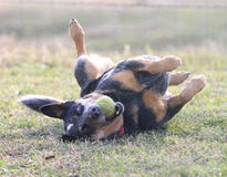 Silly dog playing with tennis ball rolling in grass Royalty Free Stock Photo