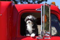 A silly dog in red goggles. A little black and white dog goes for a car ride with his goggles on Stock Photo